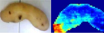 Potatoes are scanned in the near-infrared