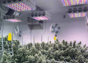 UV LEDs: Lighting for a robust cannabis growing operation