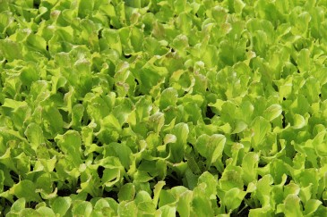 LEDs and Horticulture: Lighting raises concentrations of important...