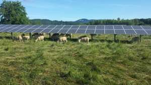 Sheep under solar panels