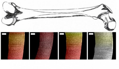Researchers used a new endoscopic OCT system to visualize variances in pig cartilage thickness The image shows a sketch of a femur and processed OCT images with thin regions shown in dark red and thicker regions more yellow and white Scale bar is 250 micr