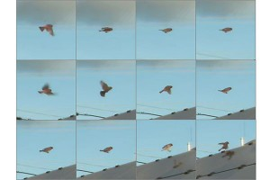 Bird movement captured in video A series of small video frames will be used for a computer model to learn what a bird would look like Image by Argonne National Laboratory