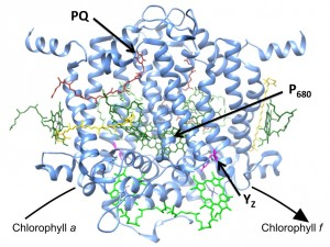 Model of newly-IDed clorophyll f synthase enzyme that converts chlorophyll a into chlorophyll f Model is based on known structure of the Photosystem II reaction center Bright green molecules near bottom of structure represent chlorophyll a molecules that