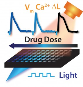 Optogenetics-Based System Automates Testing Drugs for Cardiotoxicity