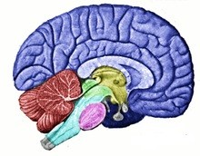 Human Brain Source Wikipedia