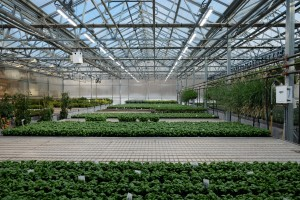 White LED lamps are used to improve basil production in a greenhouse Photo AJ BothRutgers University-New Brunswick