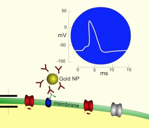 Gold Nanoparticles Enable Optogenetics Without Genetic Manipulation