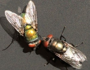 Organic Chemist Uses Blow Fly Eggs as Forensics Tool