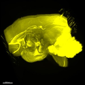 Image of a marmoset brain created using the CUBIC method