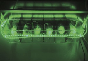 Researchers at the University of Arizona bathed rats with neuropathic pain in green LED light