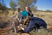 Brolga and the AGB Films cameraman inserting the camera system into the Red Kangaroos pouch